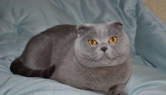 Hướng dẫn cách chăm sóc mèo Scottish từ a đến z