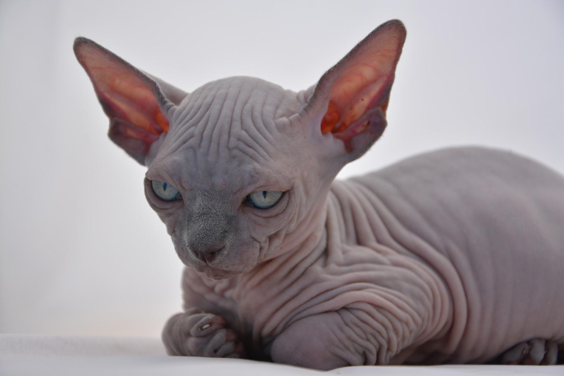 Mèo Sphynx chính là giống mèo quý có giá đắt nhất thế giới