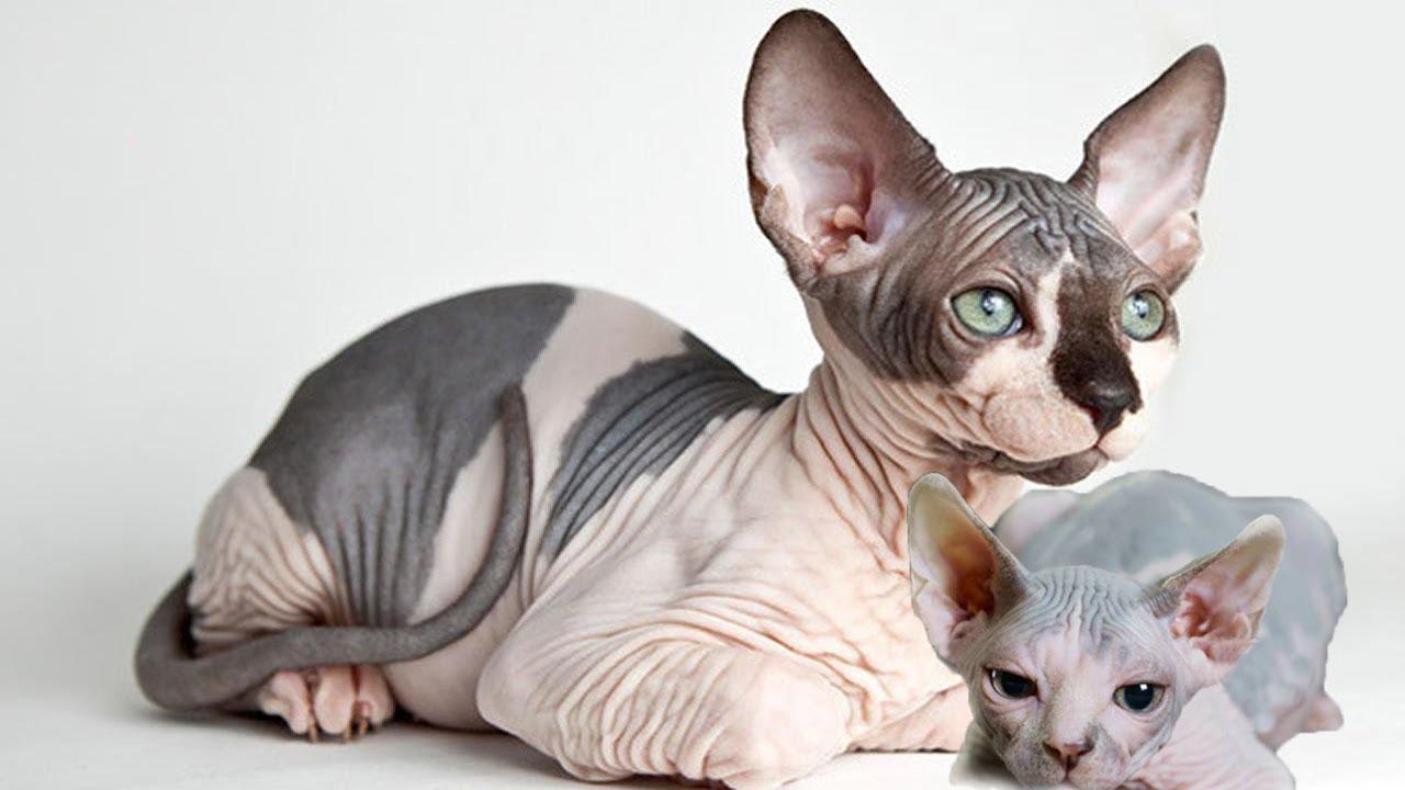 Mèo Sphynx có ngoại hình không được xinh xắn như các giống mèo khác