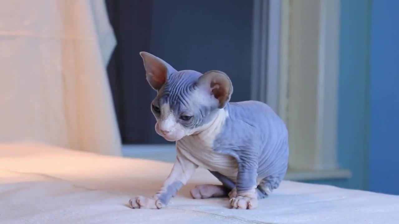Mèo Sphynx có chế độ ăn khác biệt so với những giống còn lại