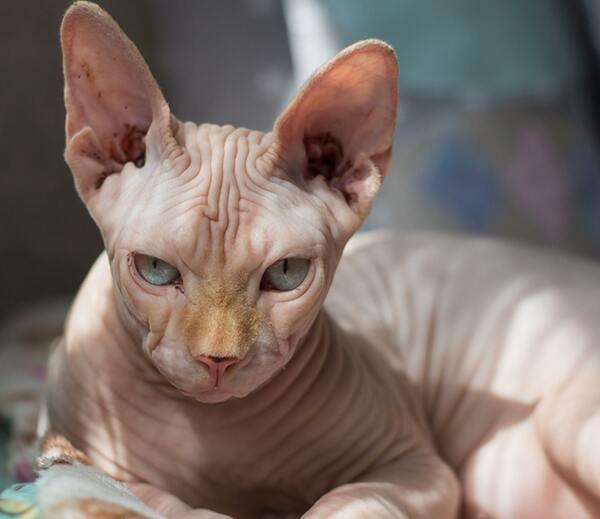 Với mèo Sphynx, bạn cần thường xuyên cắt móng cho chúng để đảm bảo an toàn