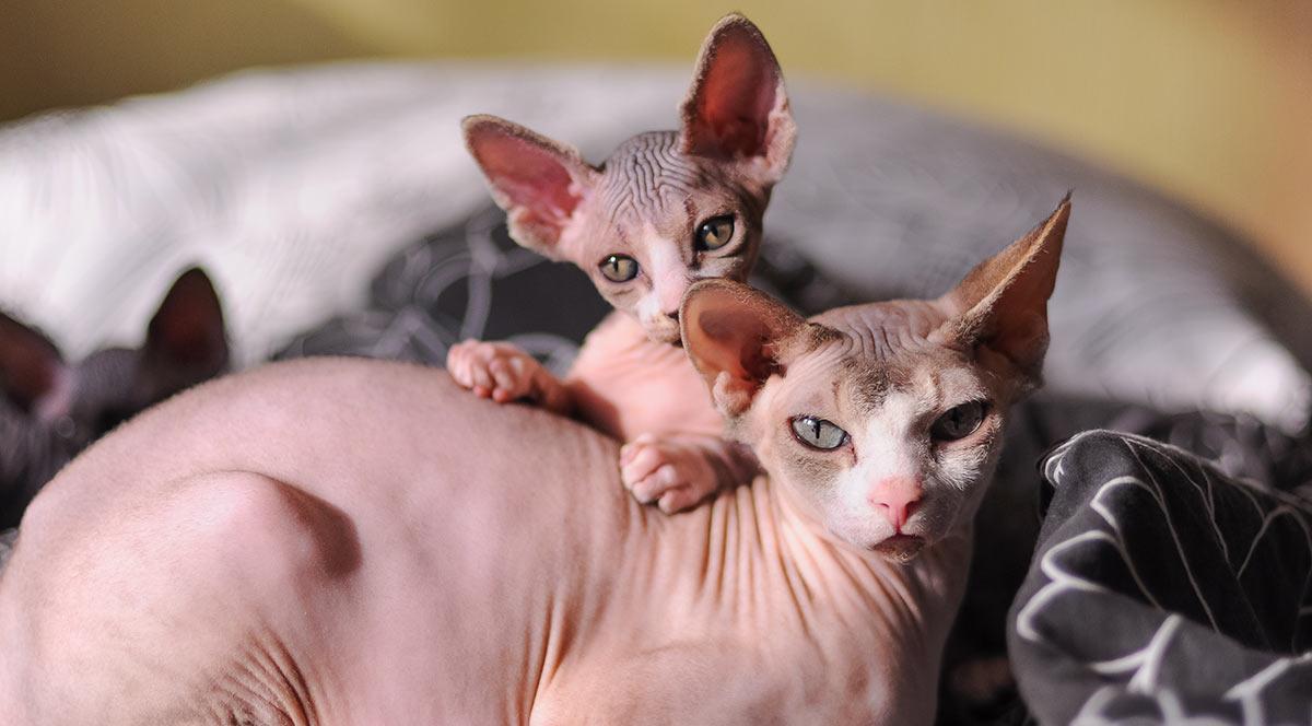 Mèo Sphynx có sức khỏe khá tốt và được nhiều bạn trẻ yêu thích, lựa chọn nuôi làm thú cưng