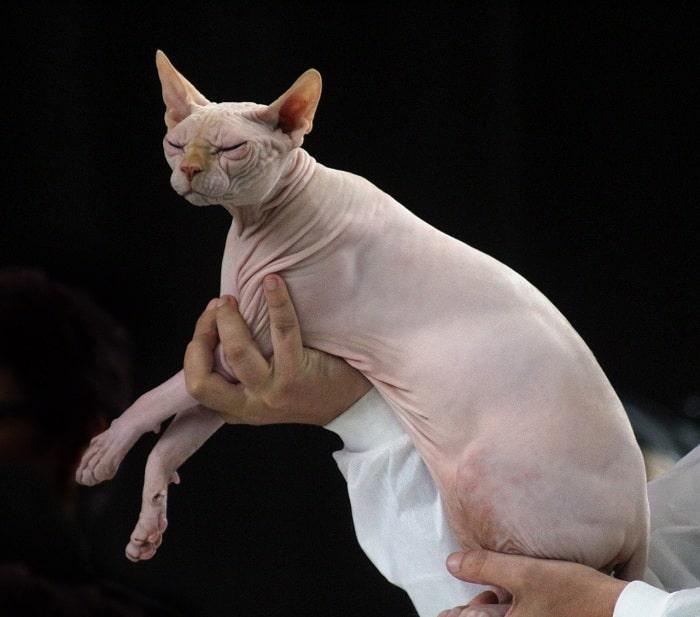 Mèo Sphynx là giống mèo đắt giá nhất thế giới được nhiều người yêu thích