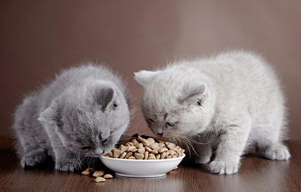 Các loại thịt phù hợp với mèo con – mèo thích ăn gì nhất?