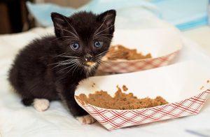Hướng dẫn cách chọn thức ăn cho mèo con tốt nhất