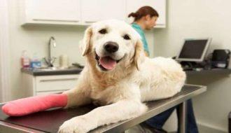 Hướng dẫn cách chữa trị khi chó bị gãy xương
