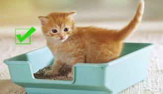Hướng dẫn cách huấn luyện mèo đi vệ sinh đúng nơi