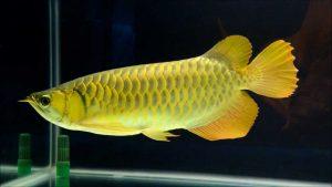 cá kim long bối đầu vàng