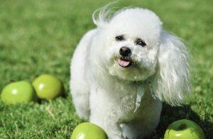 Kinh nghiệm nuôi chó Bichon Frise lớn khỏe đáng yêu