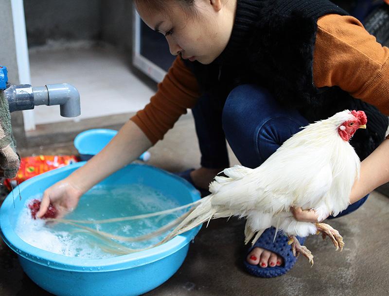tắm cho gà