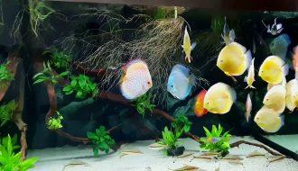 Làm sao để nuôi cá dĩa phát triển ở điều kiện bình thường?