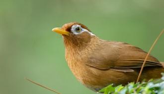 Loài chim có giọng hót tuyệt mỹ - Họa mi