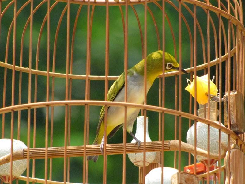 Thức ăn tốt cho chim vành khuyên