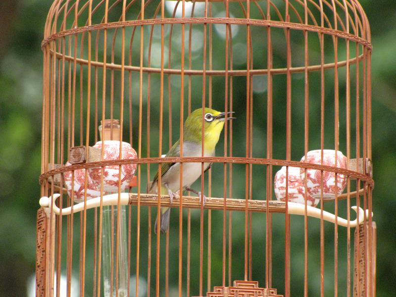 Mách nhỏ bí quyết nuôi chim vành khuyên khỏe mạnh thi đấu tốt