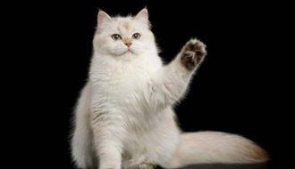 Mèo Anh Lông Dài - chú mèo thừa hưởng mọi tinh hoa từ bố mẹ