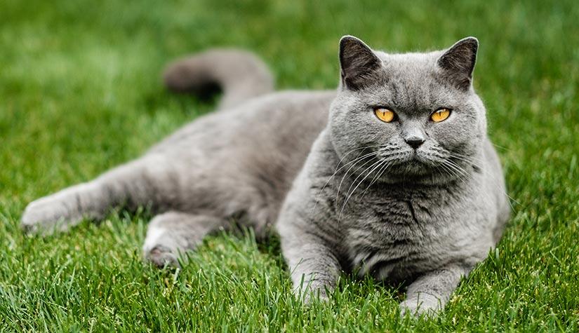 Giá mèo Anh lông ngắn