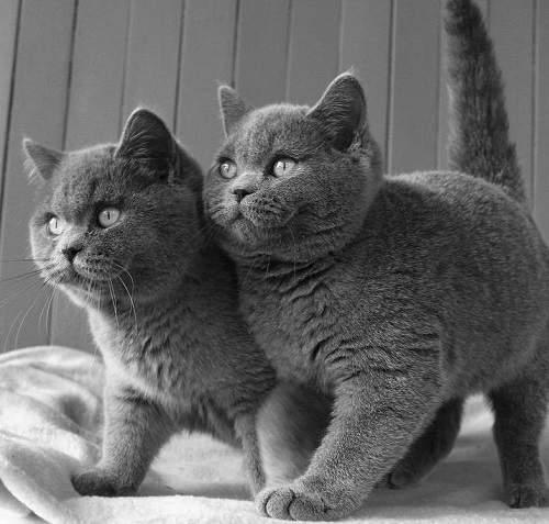Đặc điểm của mèo Anh lông ngắn
