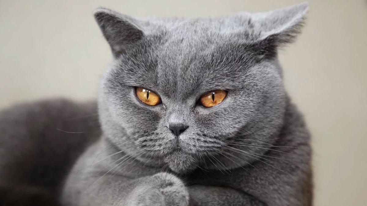 Mèo Anh lông ngắn ăn gì?