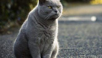 Mèo Anh Lông Ngắn - loài mèo có lịch sử lâu đời nhất nước Anh