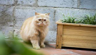 Tại sao mèo ba tư khó chăm sóc nhưng lại được săn lùng đến vậy?