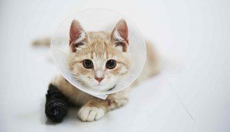 Mèo bị sưng chân do đâu và cách chữa trị hiệu quả