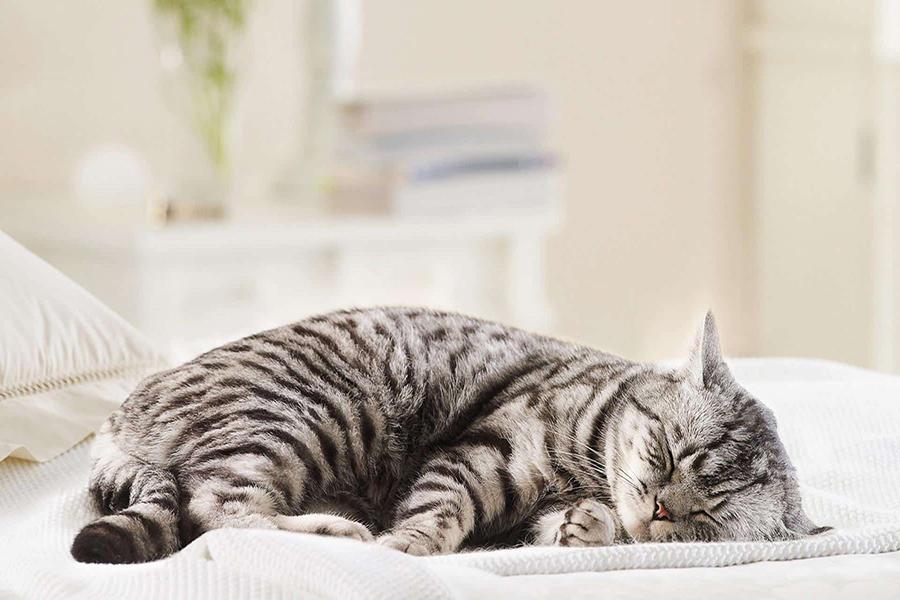 Chữa bệnh mèo bị sưng chân