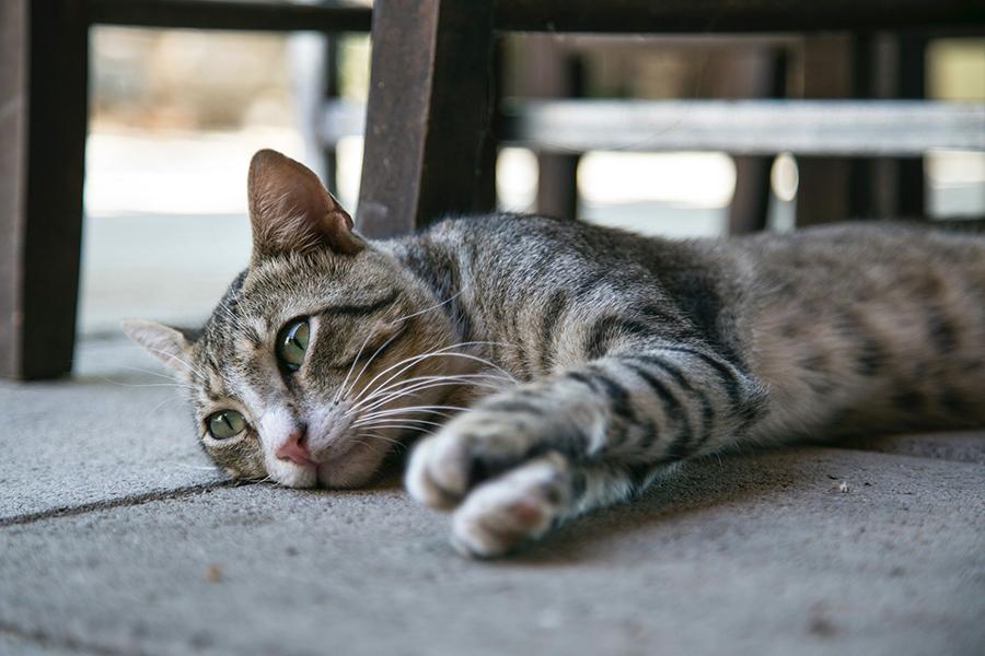 Chữa sưng chân cho mèo hiệu quả