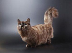 Tìm hiểu về mèo muchkin