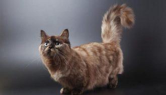 Bạn có nên chọn nuôi mèo Munchkin không? - Giá mèo munchkin