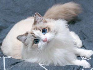Cách chăm sóc mèo Ragdoll