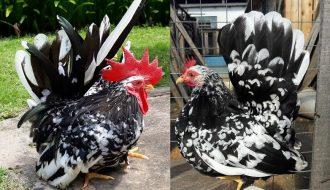 Mô hình nuôi gà cảnh thành công thu cả trăm triệu mỗi tháng