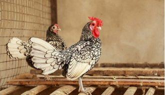 Mô hình nuôi gà cảnh thành công từ chữ tín, cái tâm