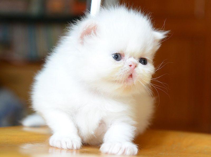"""Mô hình nuôi mèo cảnh - từ sở thích đến """"đại gia tiền tỷ"""""""