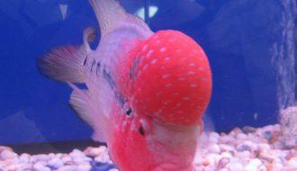 Nên làm gì khi cá La Hán có dấu hiệu bất thường?