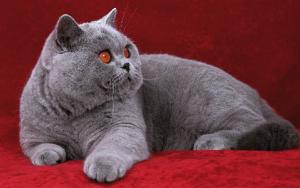 Những bệnh thường gặp ở mèo Anh lông ngắn