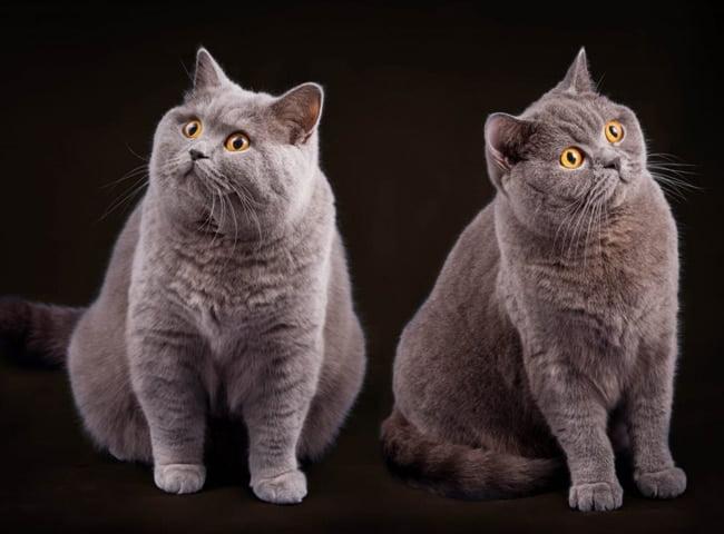 Bệnh Feline Panleukopenia ở mèo ALN