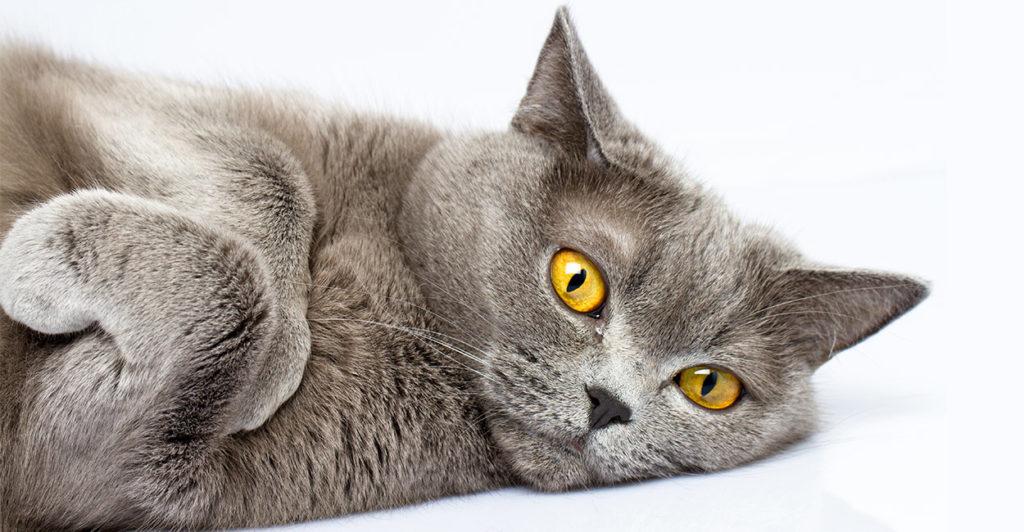 Bệnh da ở mèo ALN