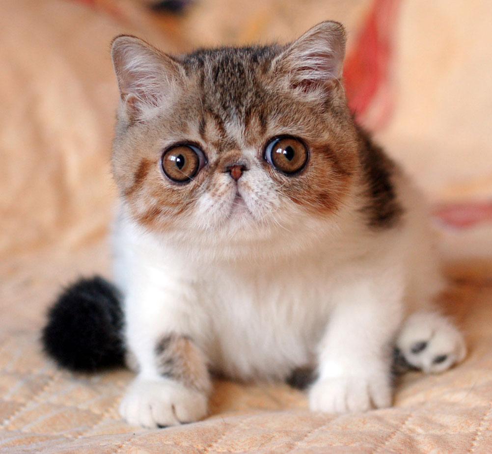 Nuôi mèo cảnh trong nhà sẽ giúp chúng ta giải tỏa stress rất tốt
