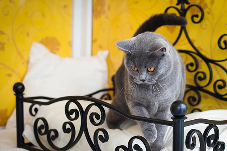 Những người nuôi mèo cảnh lần đầu cần chú ý đến khâu chọn mèo giống