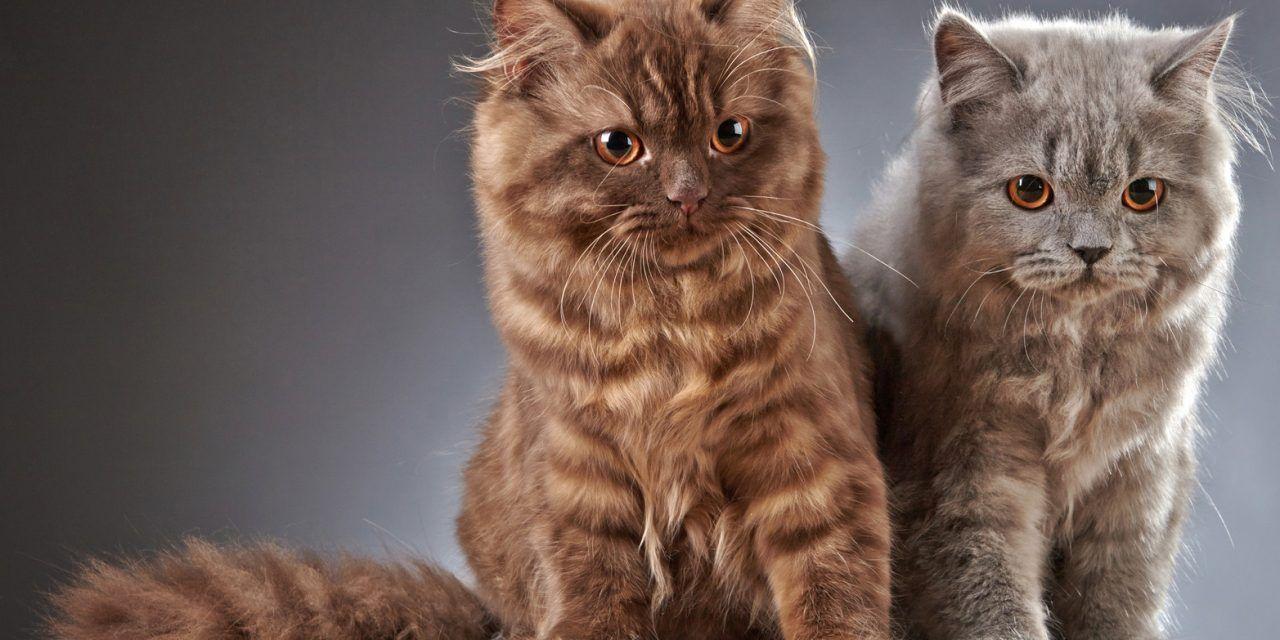 Những chú mèo cảnh trong nhà sống khá độc lập