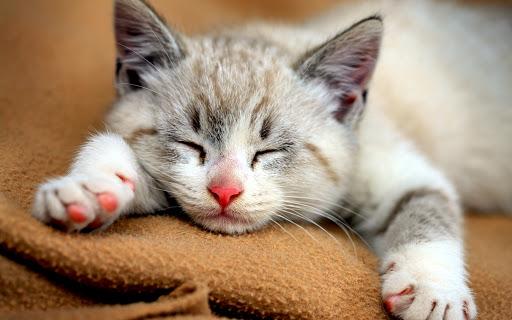 Người nuôi mèo cảnh lần đầu cần nắm rõ các kiến thức cơ bản nhất để việc nuôi được thuận lợi