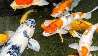 Những điều cần biết để chăm sóc cá Koi được phát triển tốt