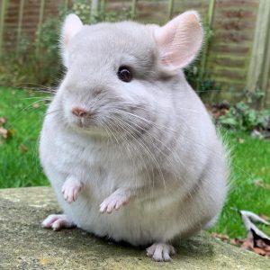 Những điều thú vị về chuột Chinchilla