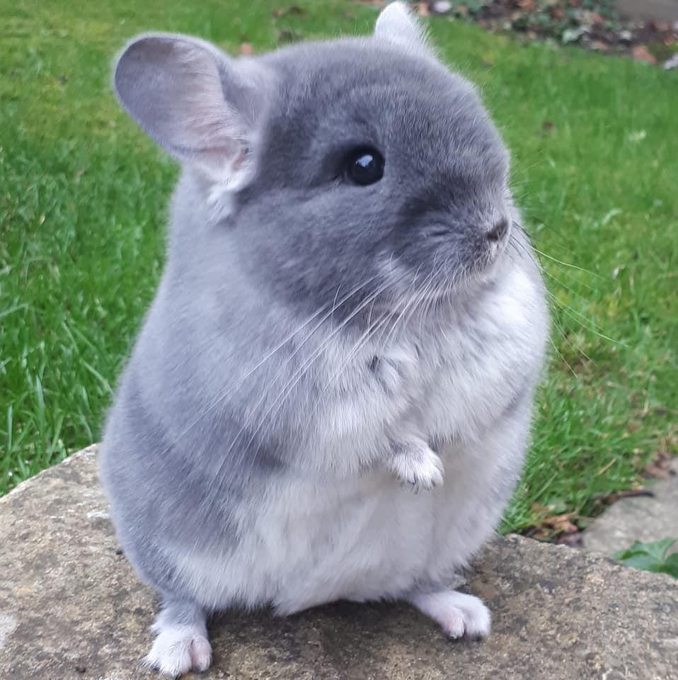 Chuột chinchilla là loài gặm nhấm