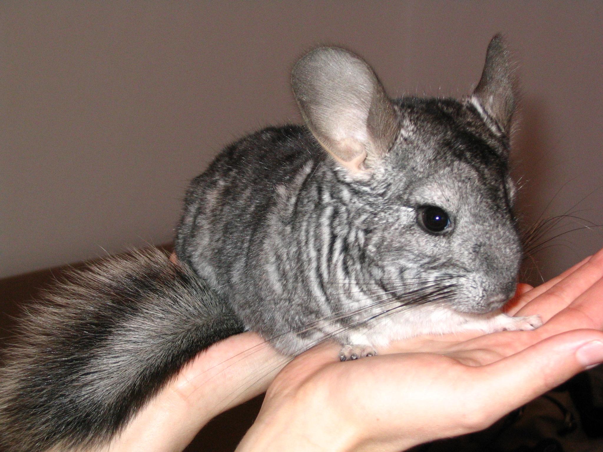Chuột chinchillas là loài ăn thịt và sống về đêm