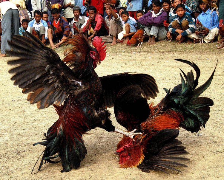 Thực phẩm giàu chất đạm, «thần dược» giúp gà sung sức dẻo dai