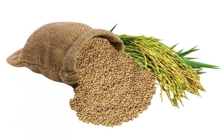 Thóc lúa, thực phẩm chính trong khẩu phần ăn của gà chọi