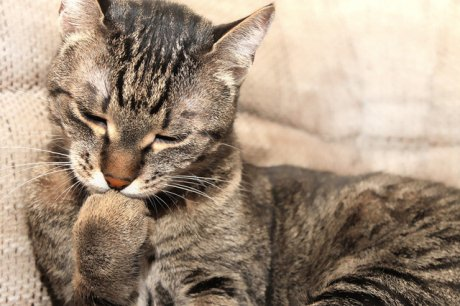 Tiêm phòng, sổ giun đầy đủ cho mèo