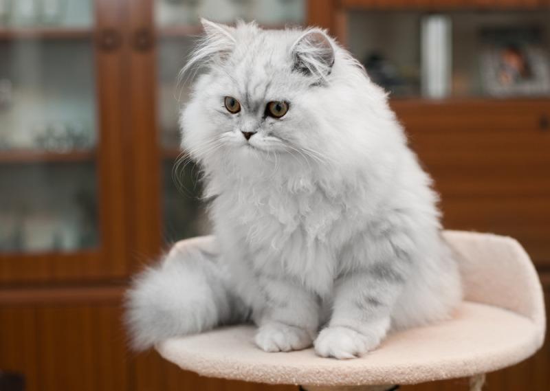 Tên gọi khác của mèo Ba Tư