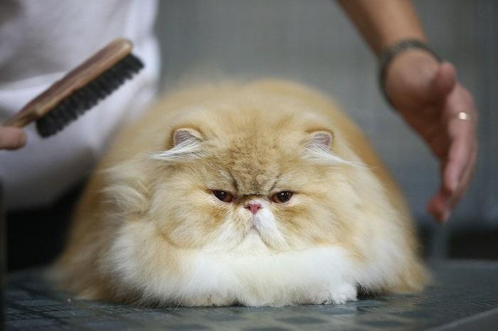 Cho mèo Ba Tư 34 ăn như thế nào là hợp lý?
